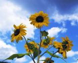 Sunflowers and blue sky